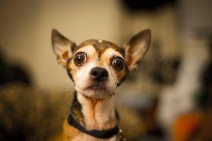 Dog with Ears