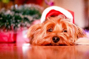 christmas-yorkie_resized